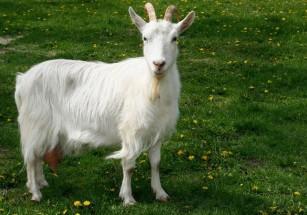 Итальянским рантье мешают козлы